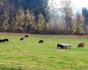 Wagyu Rindfleisch aus dem Bayerischen Wald